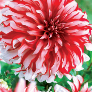 Dahlia Catching Fire