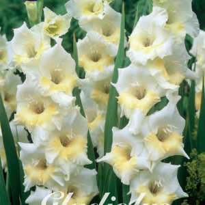 Gladiolus Break of Dawn