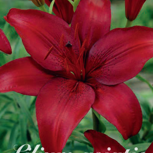 Lilium Asiatic Red